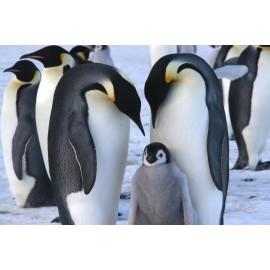 Óriáskép, Extra kép,Pingvin család 100x150